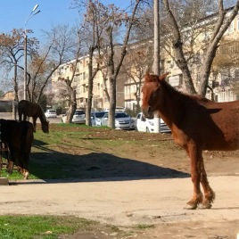 Well, hello there. Will horses are common in Tashkent.